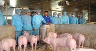 Cơ chế, chính sách, đối tượng, mức hỗ trợ phòng, chống dịch bệnh tả lợn Châu Phi
